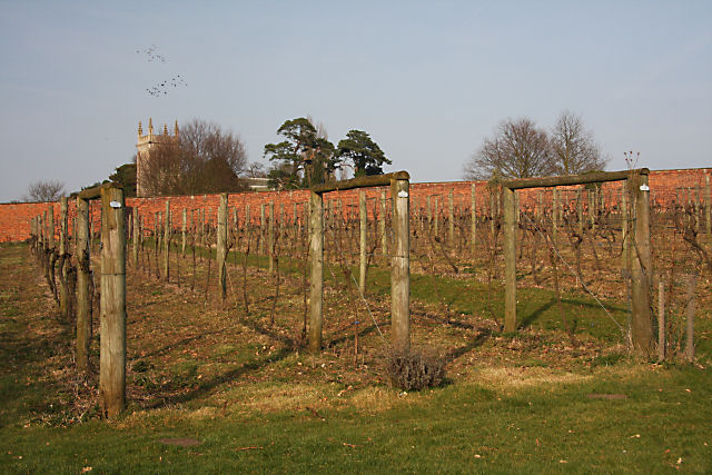 Ickworth vineyard - geograph.org.uk - 1220357