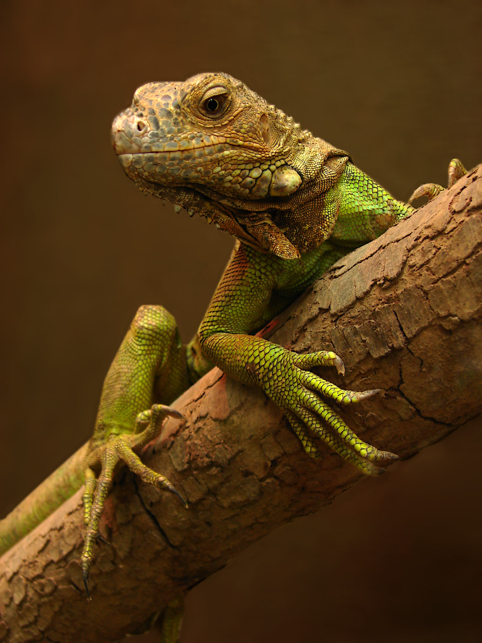 http://upload.wikimedia.org/wikipedia/commons/8/8e/Iguana_01102.jpg