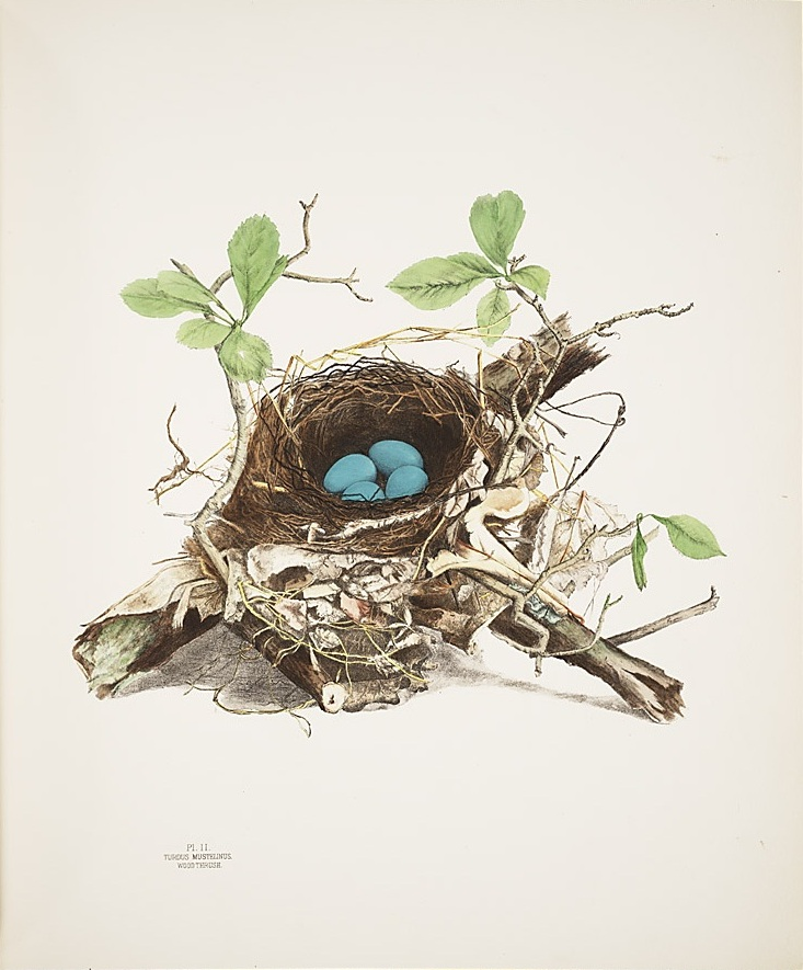 illustrations of the nests and eggs of birds of ohio wikipedia