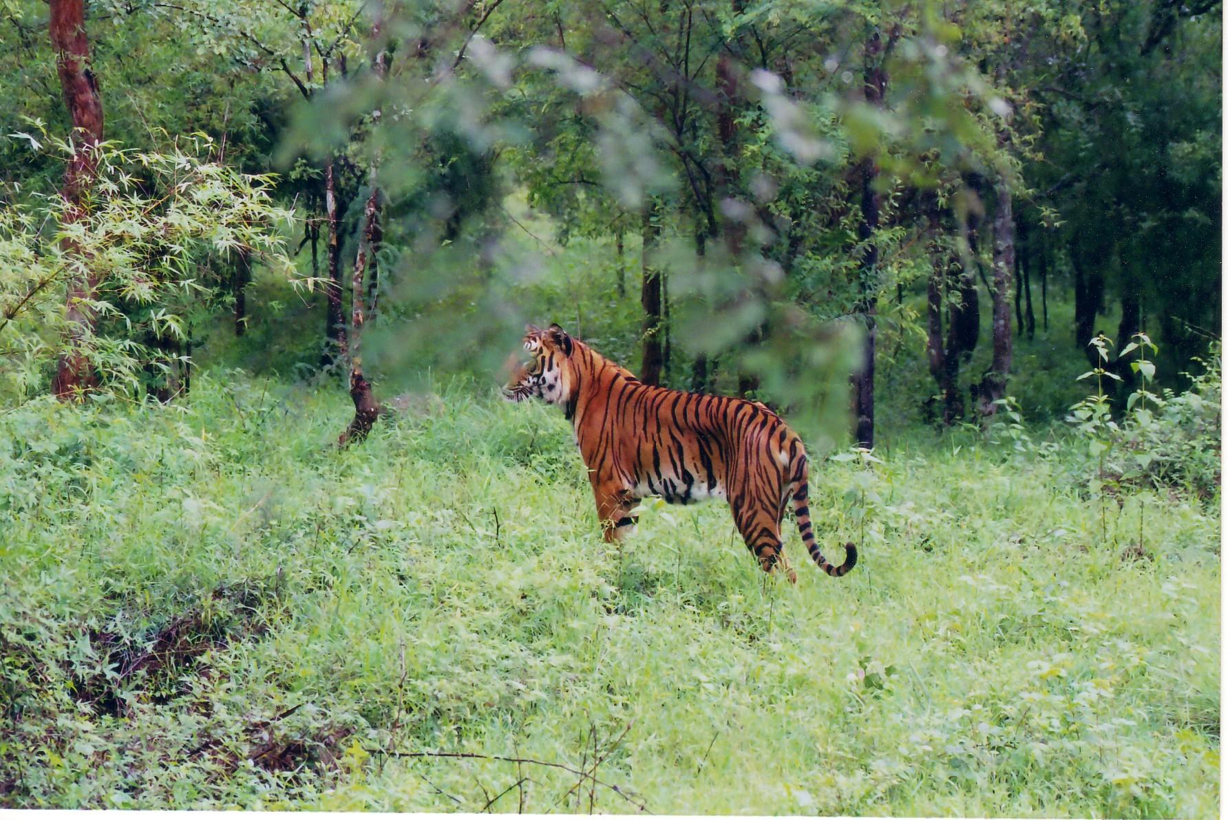 An Indian tiger at Bhadra wildlife Sanctuary