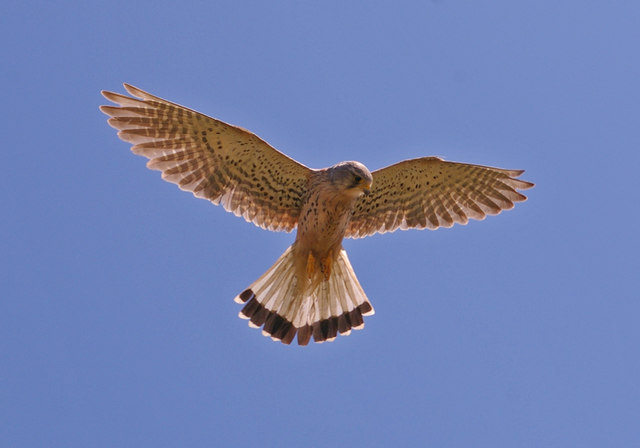 Kestrel (Falco tinnunculus) - geograph.org.uk - 1366060