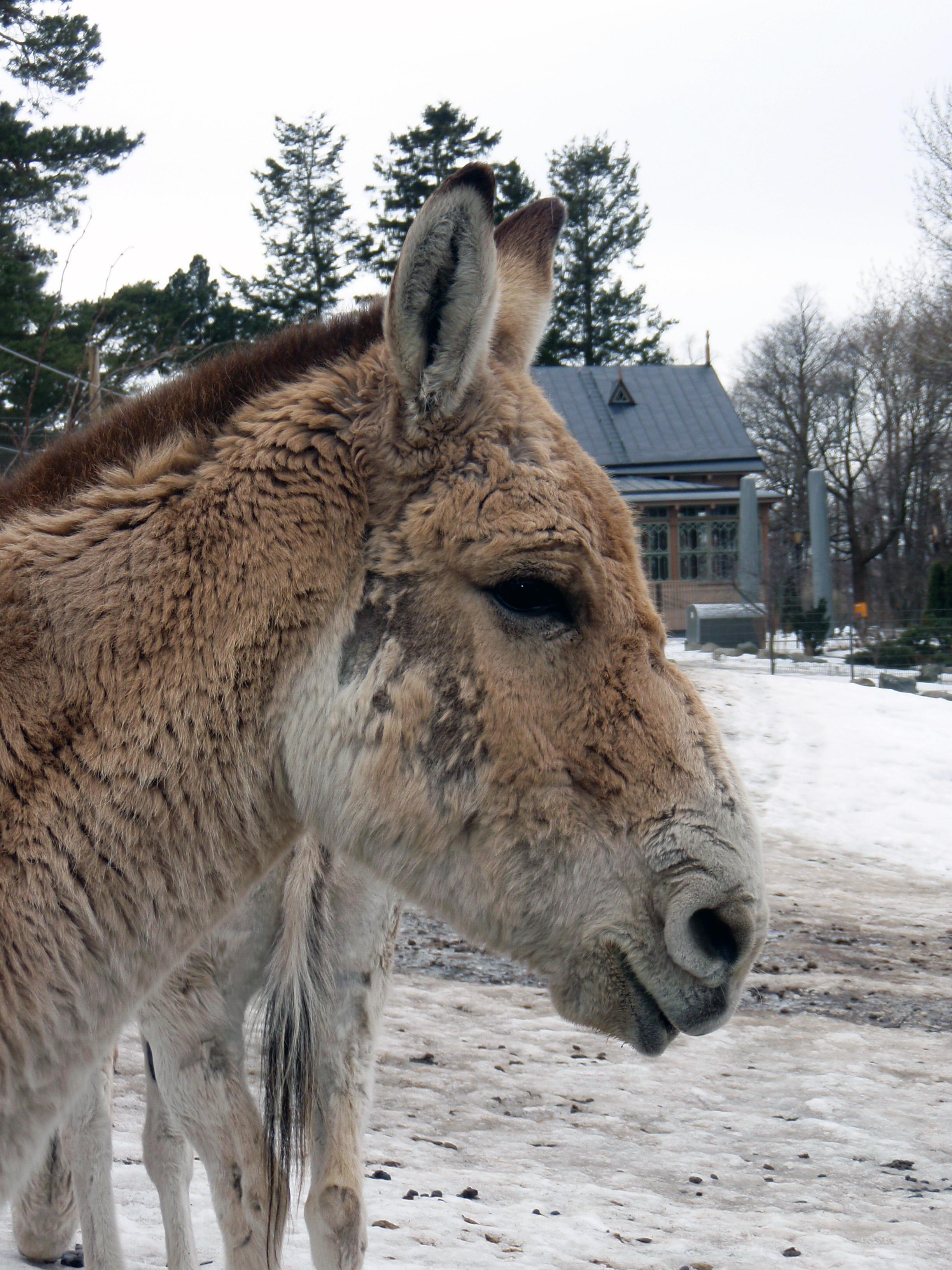 Kulaani (Equus hemionus kulan) Korkeasaaressa.