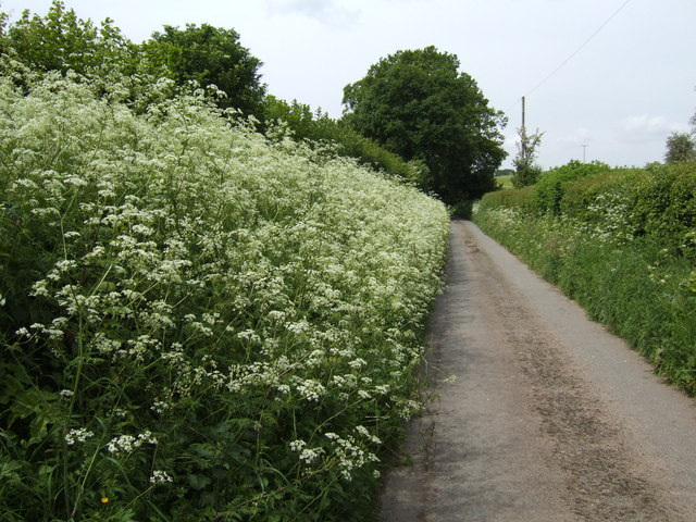 Hedge parsley