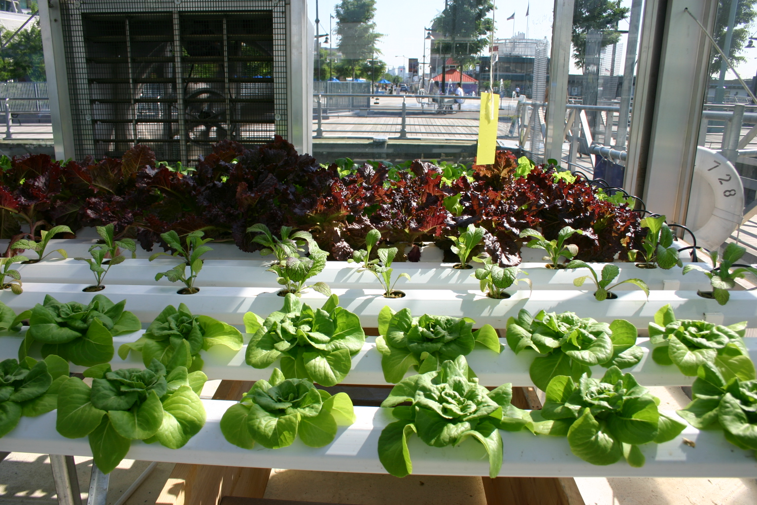 Hydroponic lettuce growing in a city.