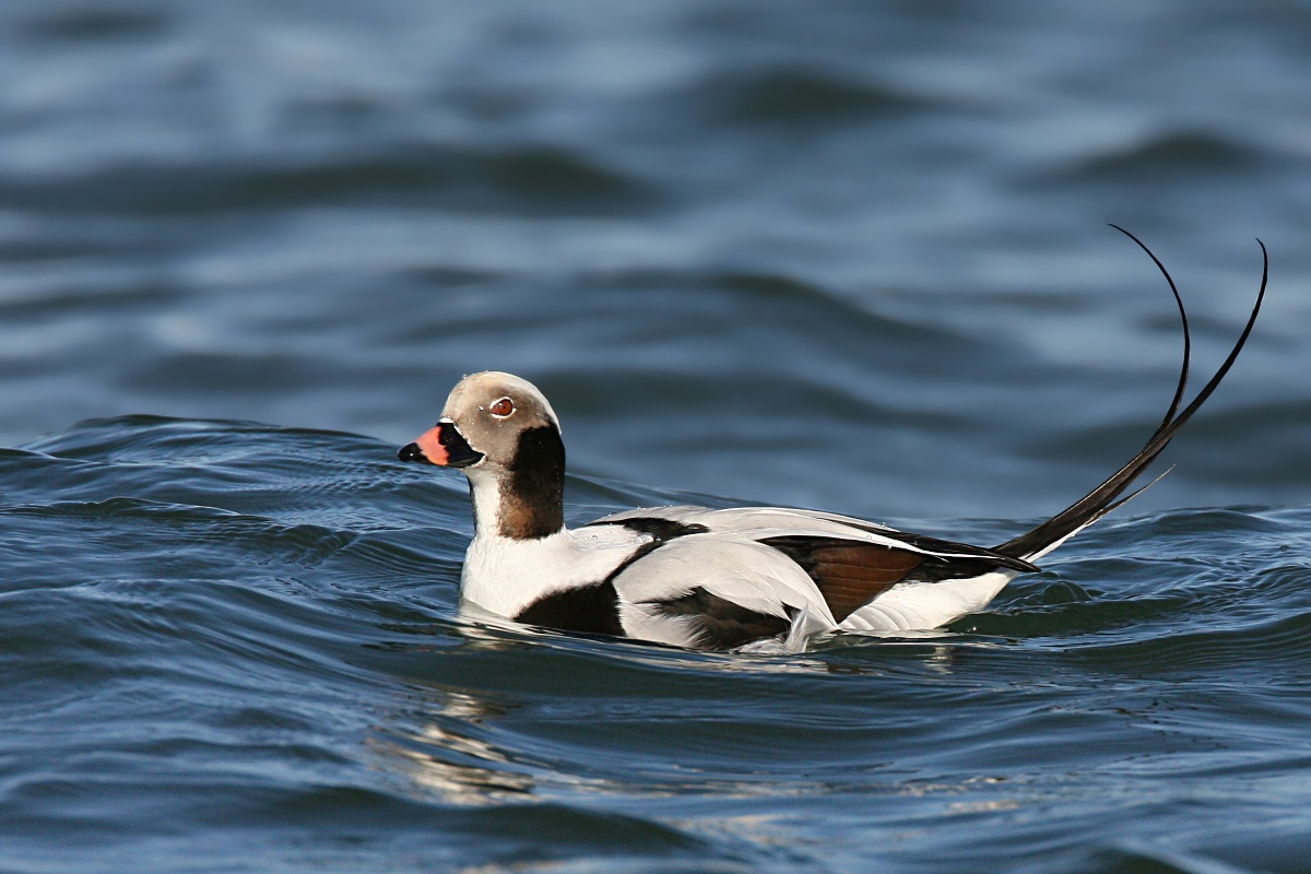 Hunting Long-tailed Duck in iceland