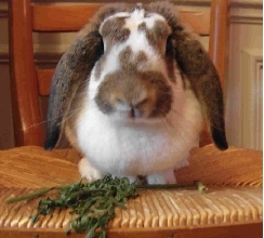 A French lop rabbit.