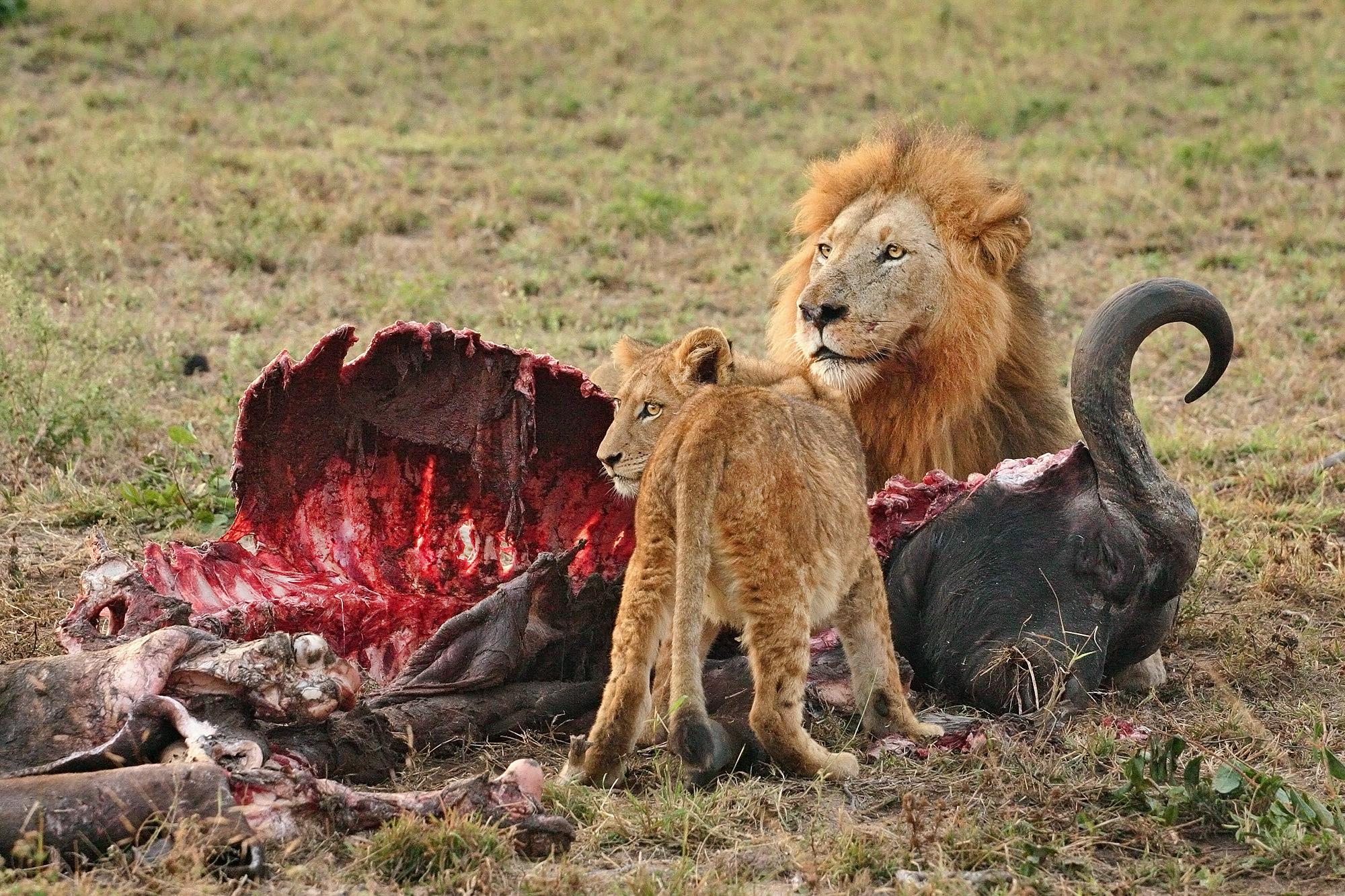 Männchen und Jungtier beim Fressen eines Kaffernbüffels