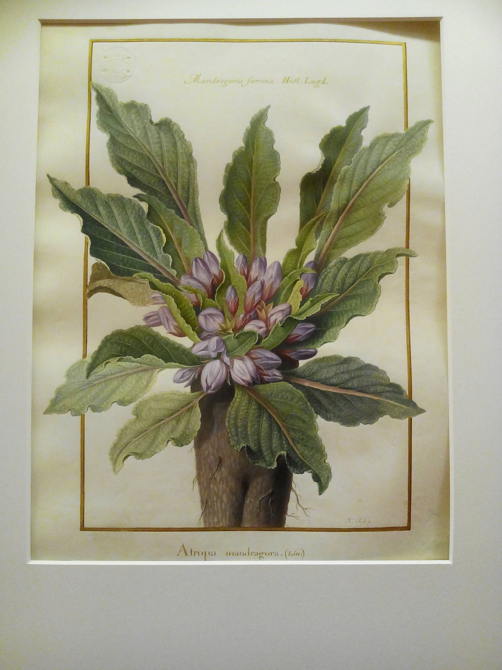 Mandragora officinarum, Nicolas Robert.jpg