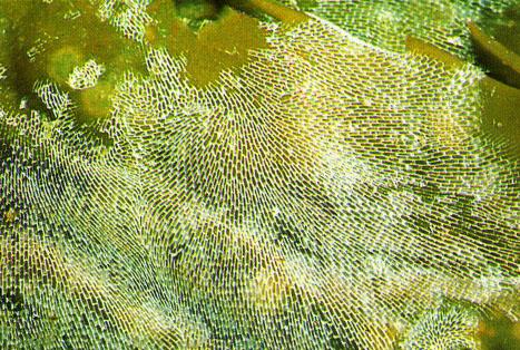 Membranipora membranacea.jpg