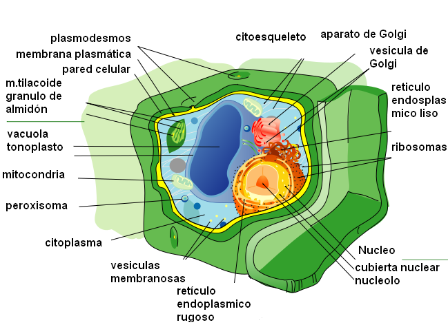 Célula vegetal - Wikipedia, la enciclopedia libre