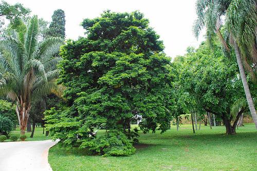 Brazilské dřevo