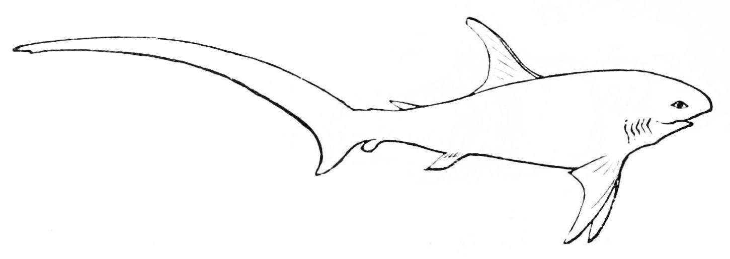 File Psm V11 D546 Thresher Shark Jpg Wikimedia Commons