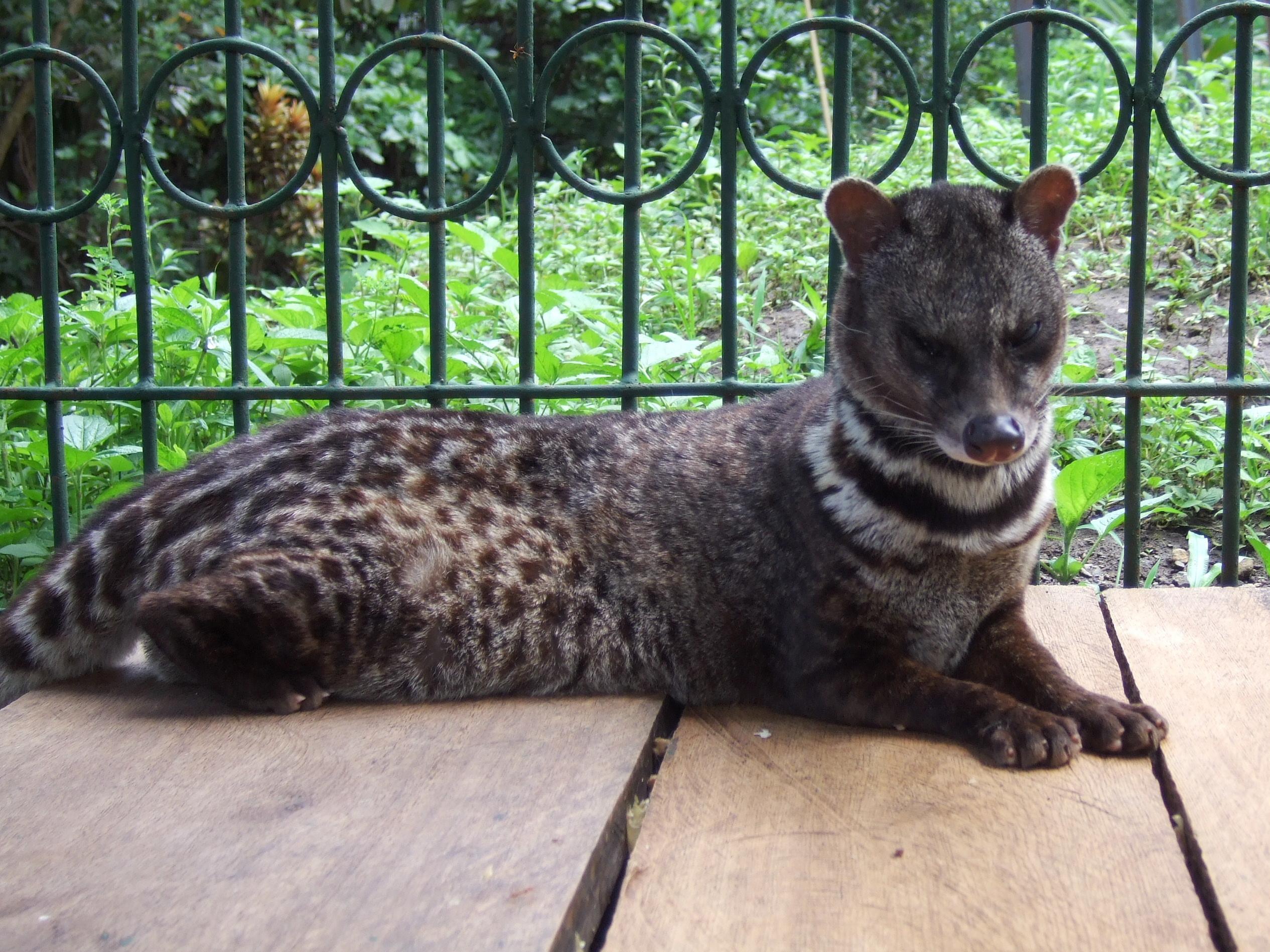 Java Animal Cat