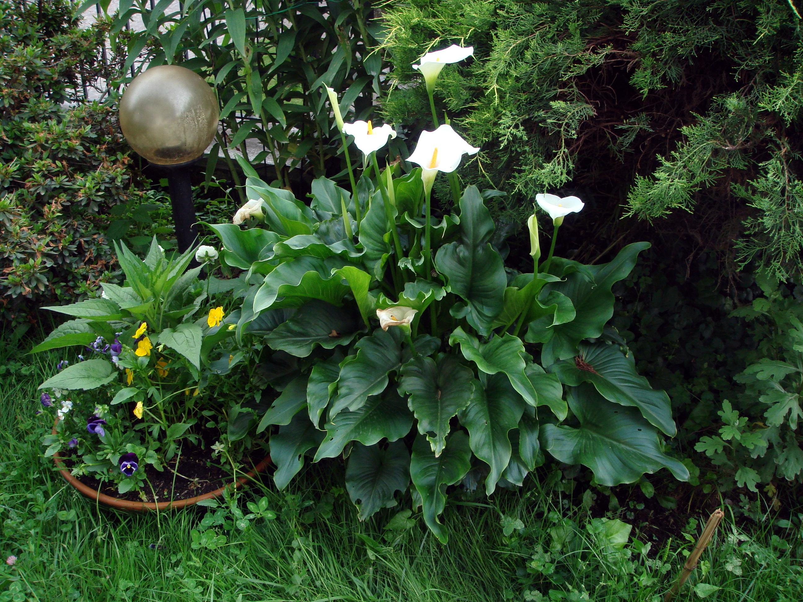 zantedeschia aethiopica of witte aronskelk jungle tuin. Black Bedroom Furniture Sets. Home Design Ideas