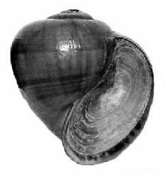 Pila ampullacea pilidae 000.JPG