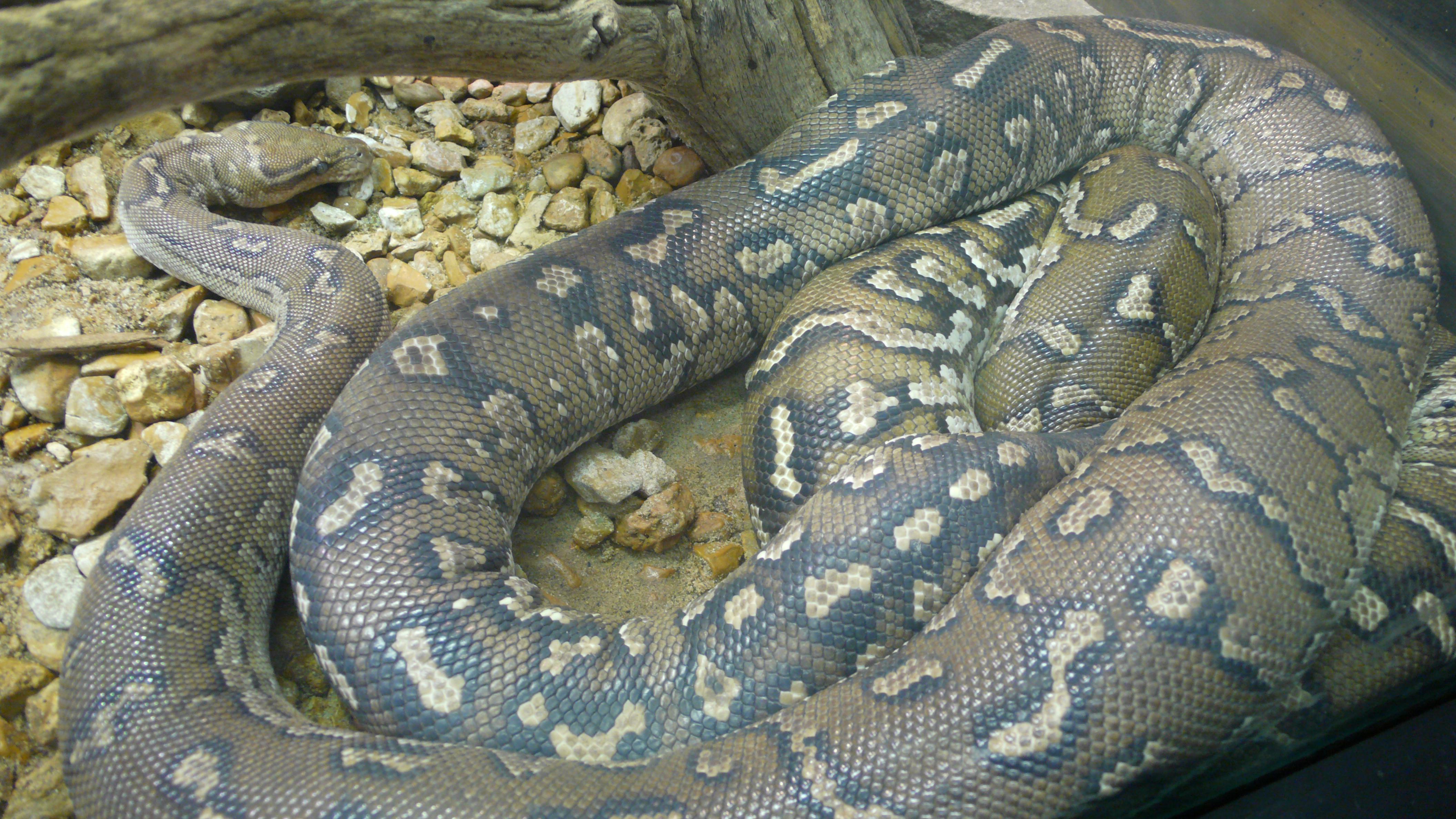 Angolan Python Snake Pictures