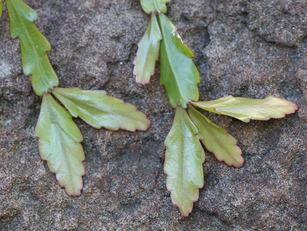 Rhipsalis oblonga2.jpg © David Midgley