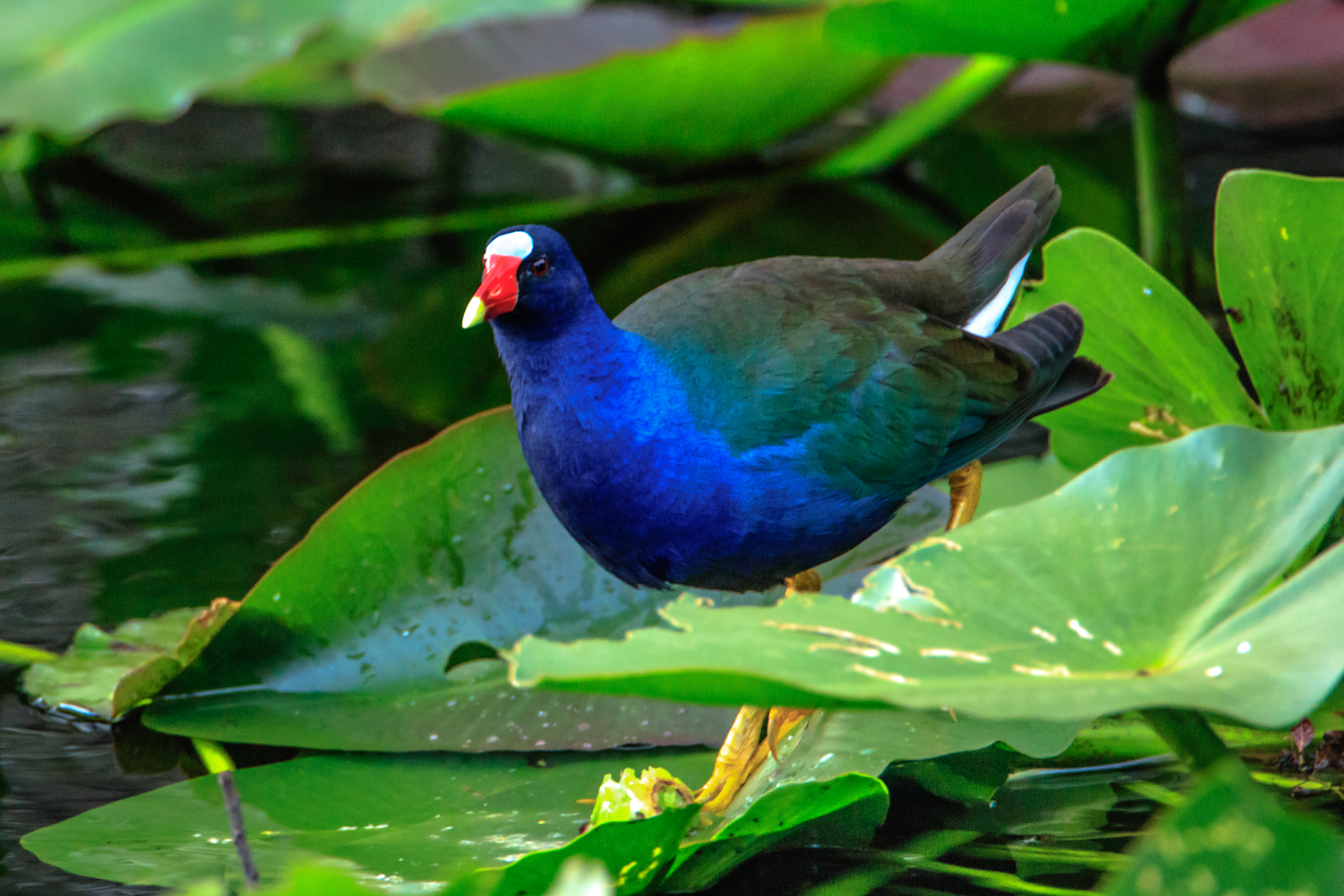 file shark valley bird paradise w of miami purple gallinule