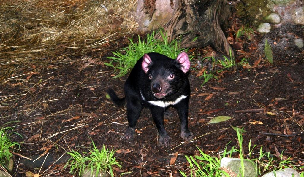 Sarcophilus harrisii(Demonio de Tasmania) Tasmanian_Devil