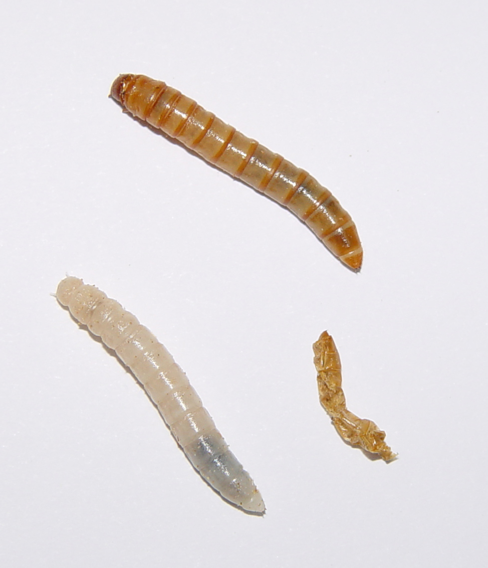https://upload.wikimedia.org/wikipedia/commons/8/8e/Tenebrio_molitor_larvae.jpg