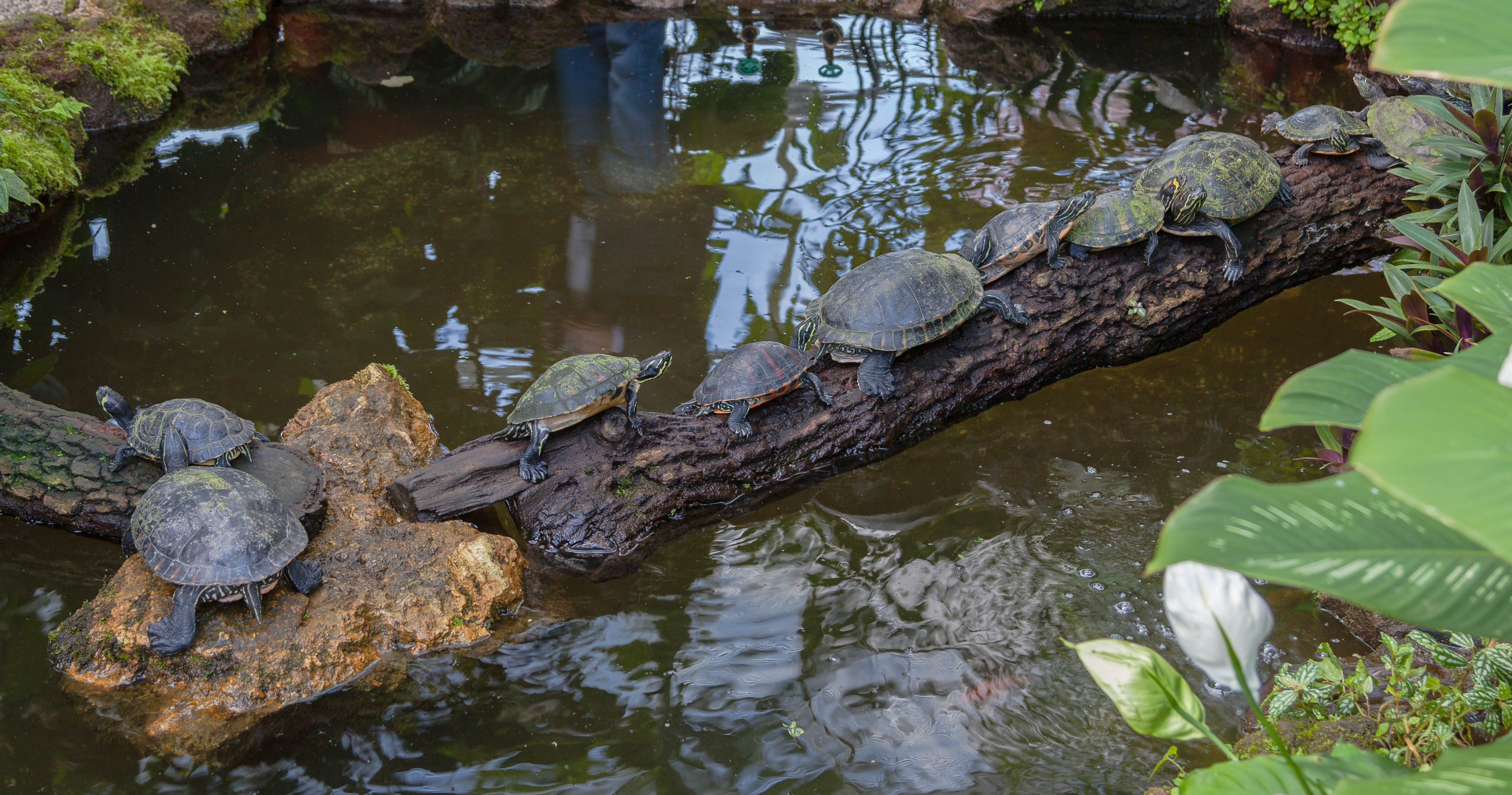 File tortuga de orejas rojas trachemys scripta elegans for Imagenes de estanques de tortugas