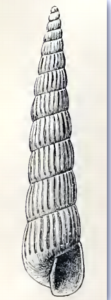 Turbonilla carpenteri 001.png