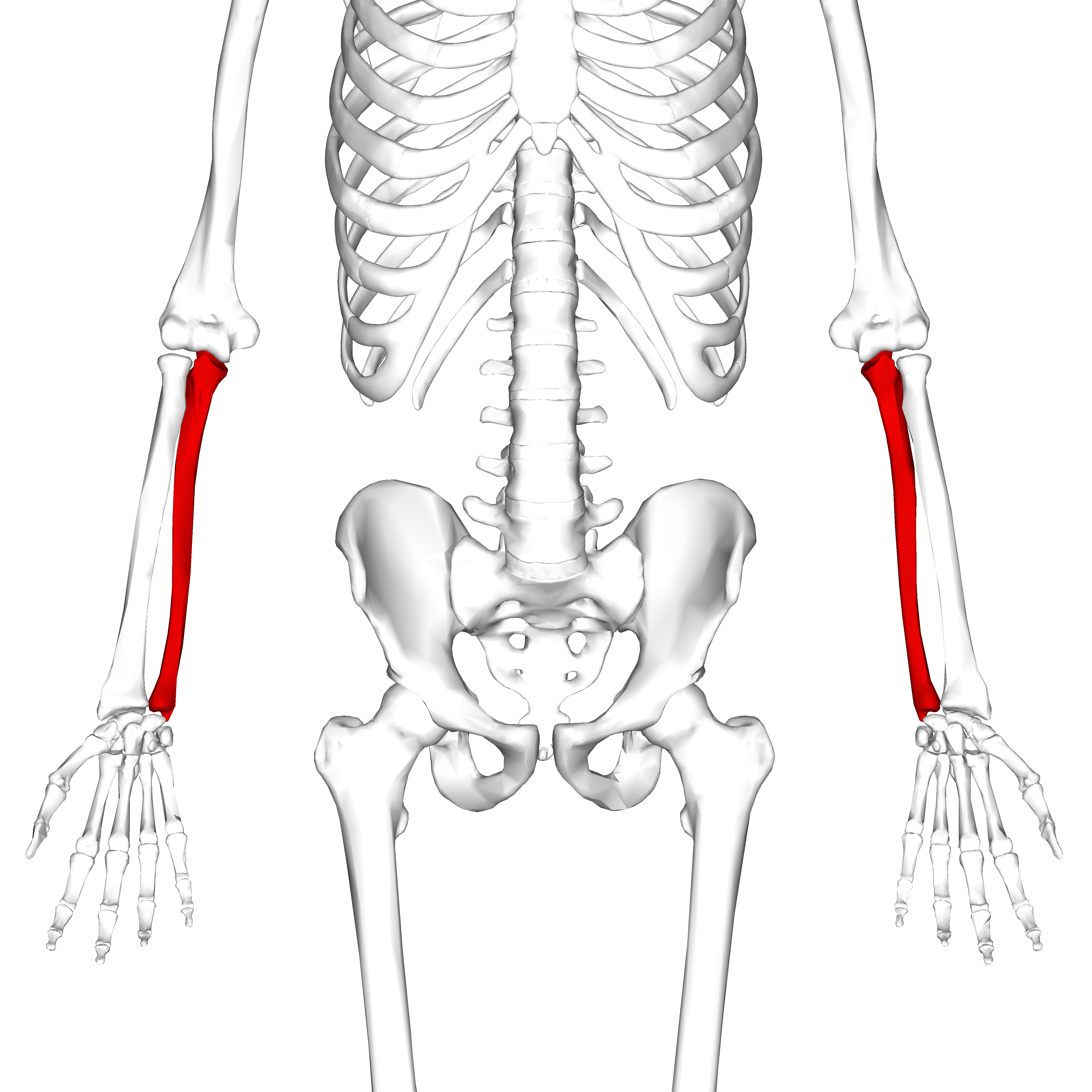 major bones in body and one muscle that attaches to each What are the major bones in the human body the arms each contain one humerus list of muscles attached to major bones of body.
