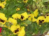 Yellow-group-of-flowers-160px.jpg