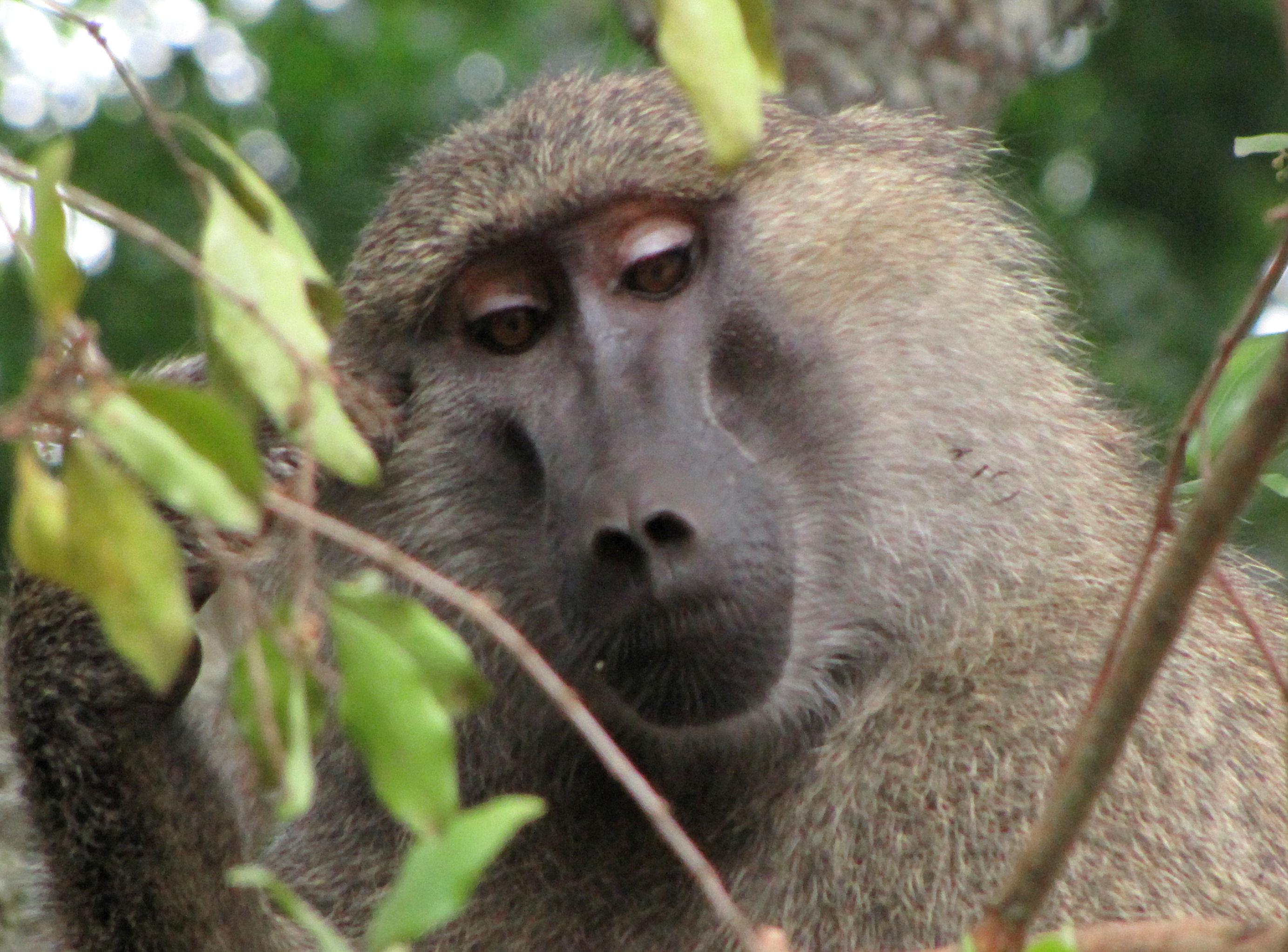 Description Yellow Baboon, Tanzania.jpg