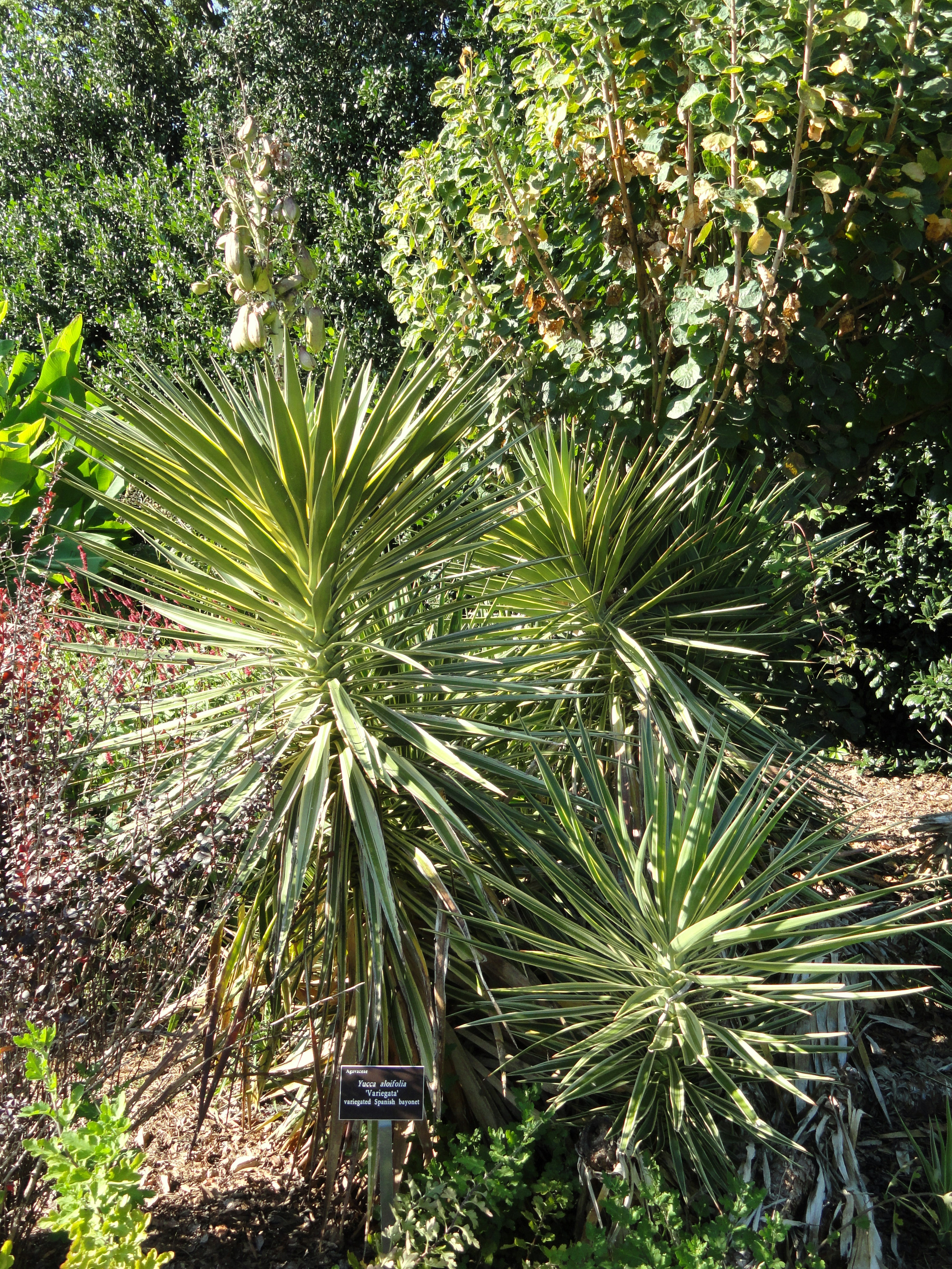 yucca elephantipes exterieur yuccas cactus et autres