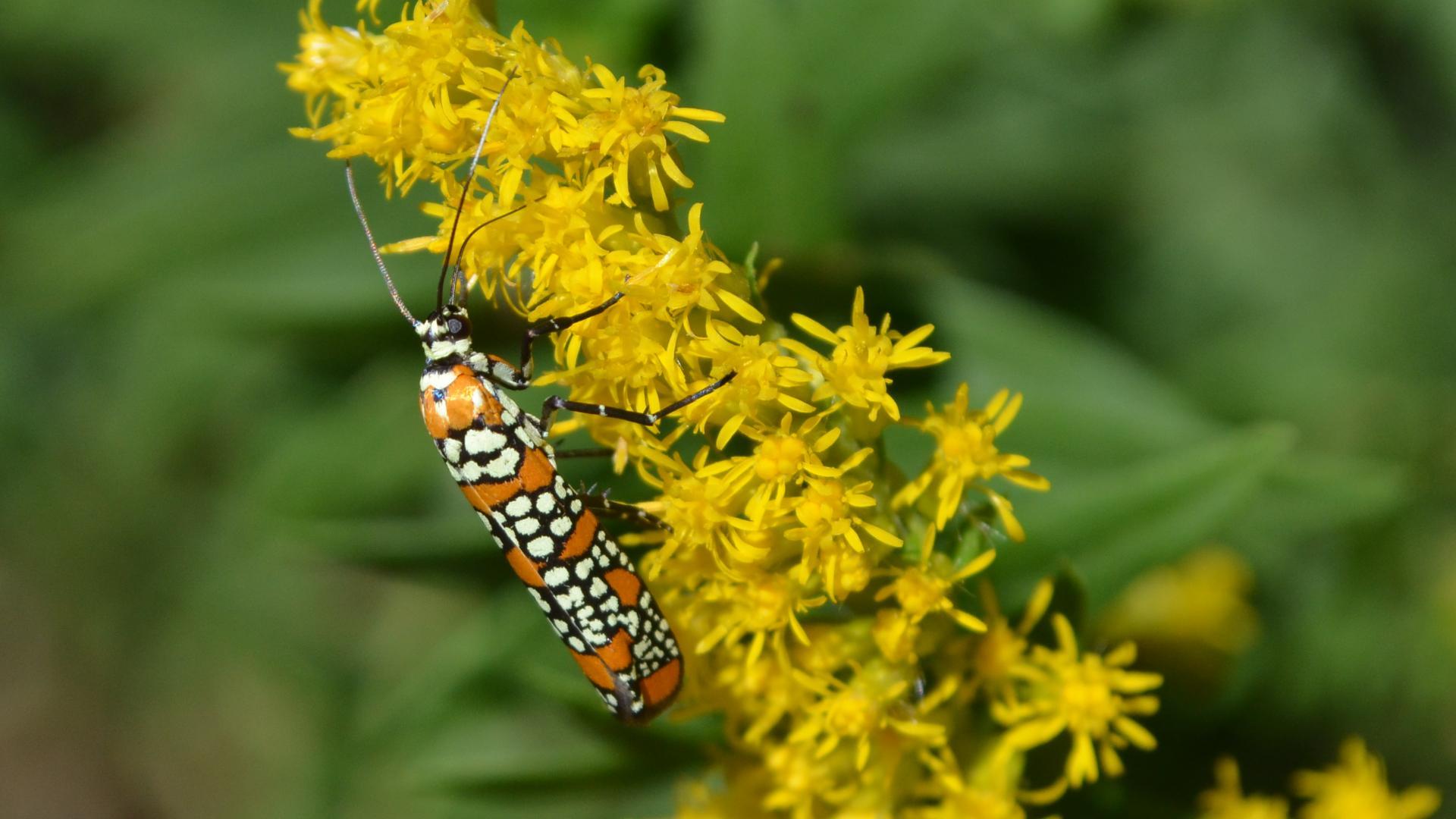 File:- 2401 – Atteva aurea – Ailanthus Webworm Moth (9887776663).jpg