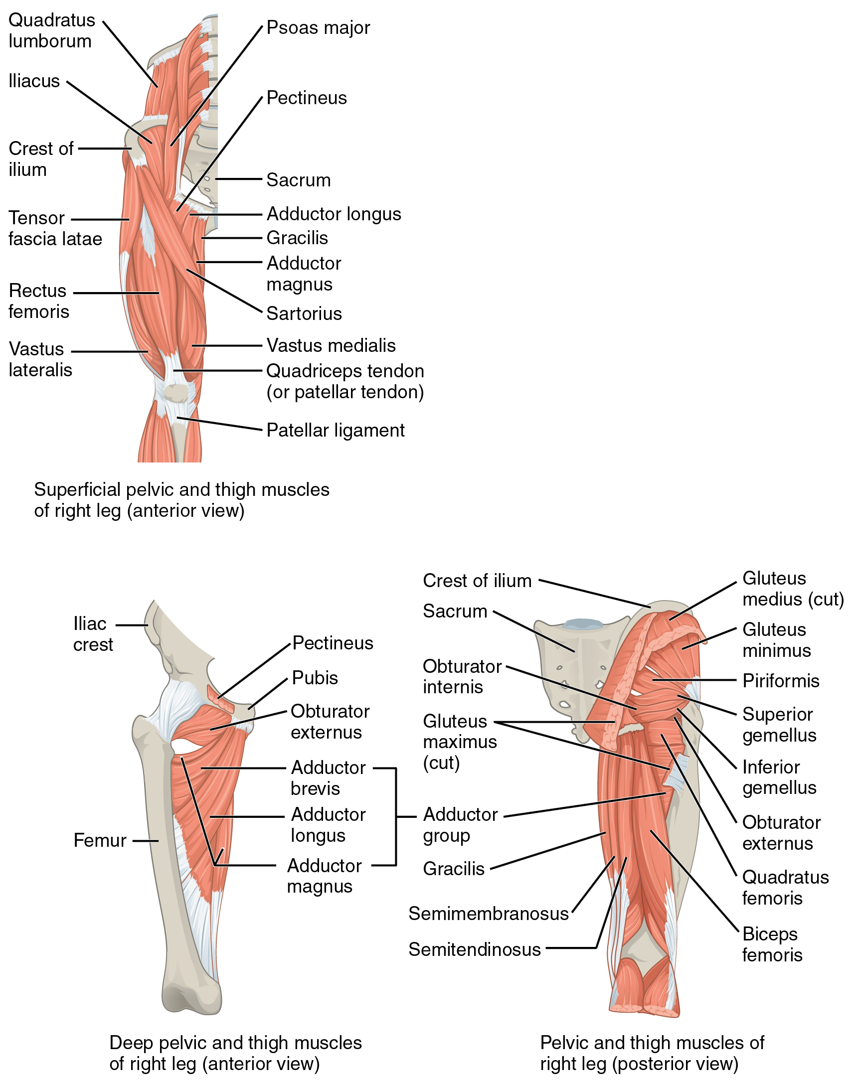 Cow Hoof Muscular System Diagram - DIY Enthusiasts Wiring Diagrams •