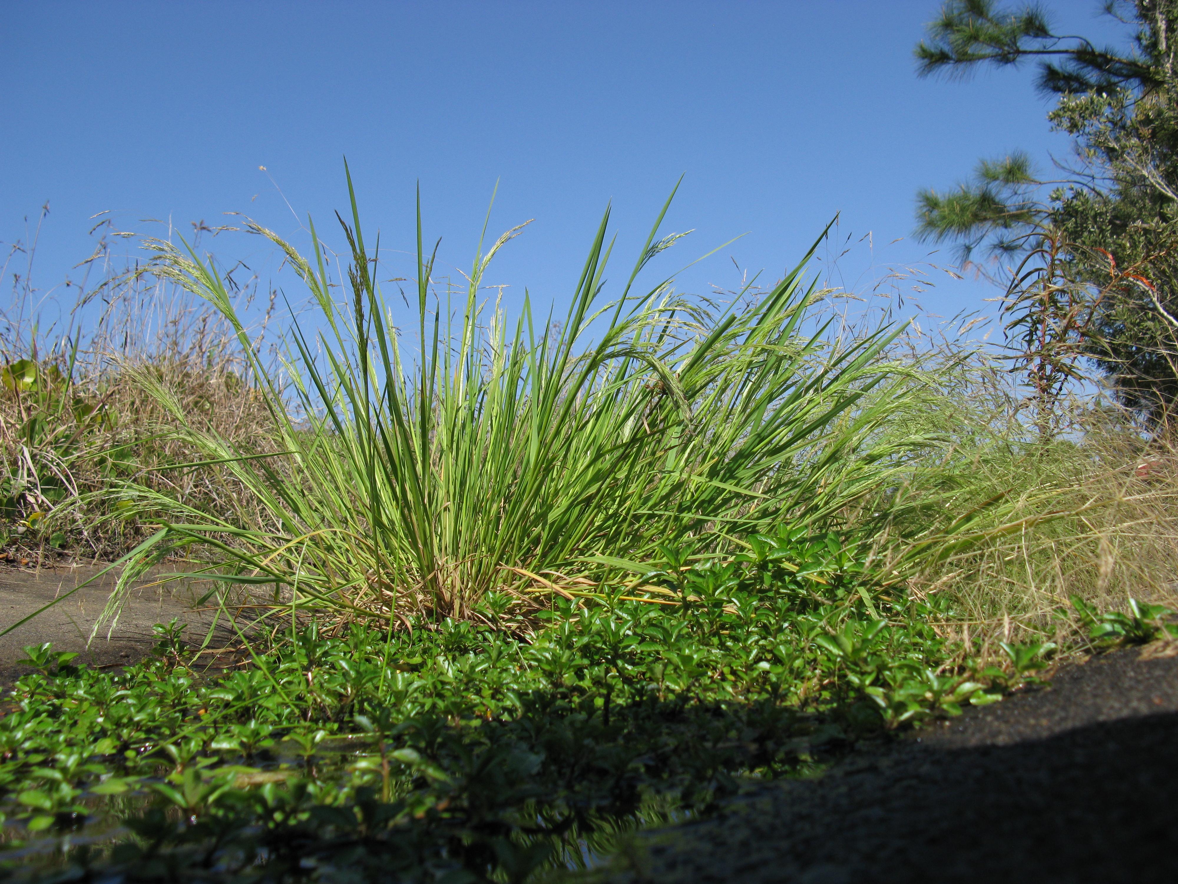Resultado de imagen de Agrostis avenacea