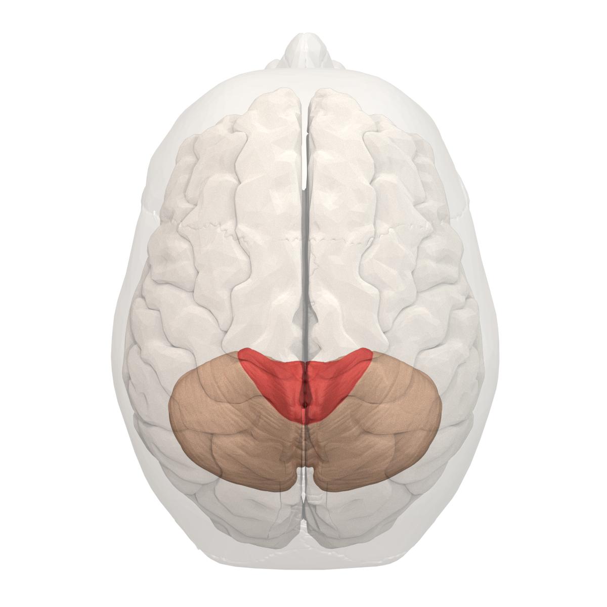 File:Anterior lobe of cerebellum -- 05.png - Wikimedia Commons