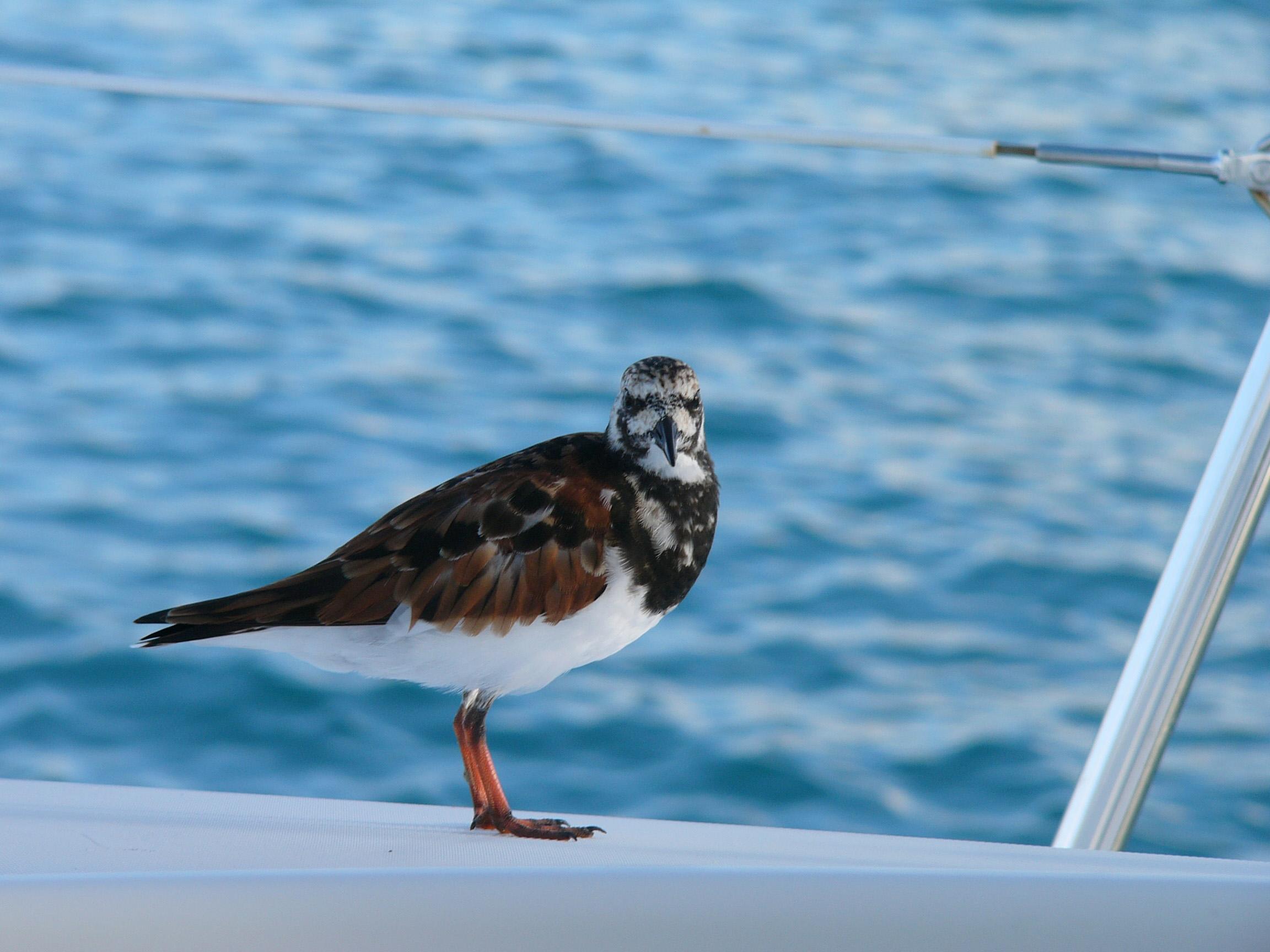 Interpres anegada british virgin islands perching on a boat 8c