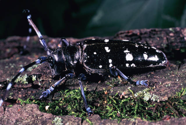 https://upload.wikimedia.org/wikipedia/commons/8/8f/Asian_Longhorn_Beetle_%284731138100%29.jpg