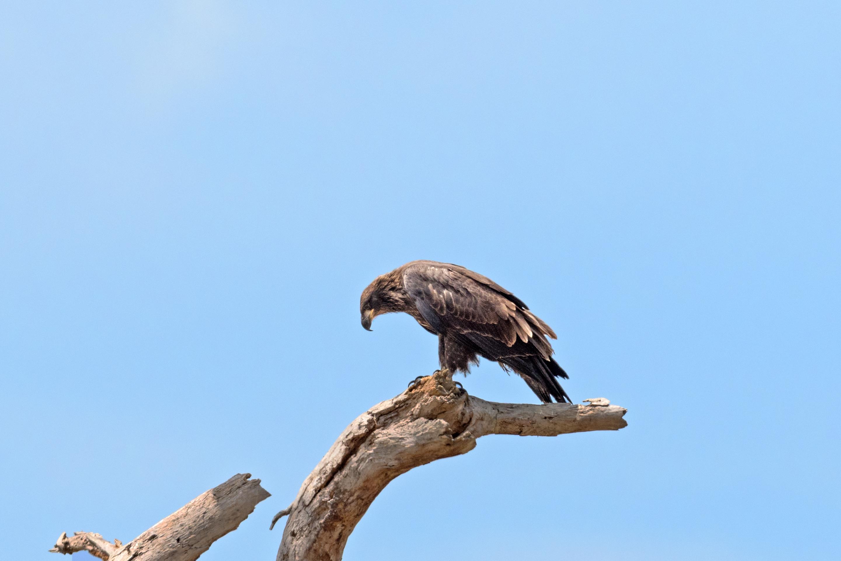 File:Bald eagle fledgling, sw florida eagle cam (33646793005).jpg ...