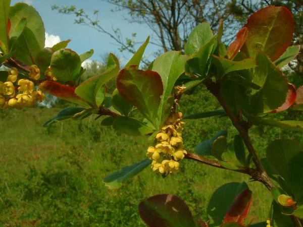les feuilles du berberis se parent de rouge en automne