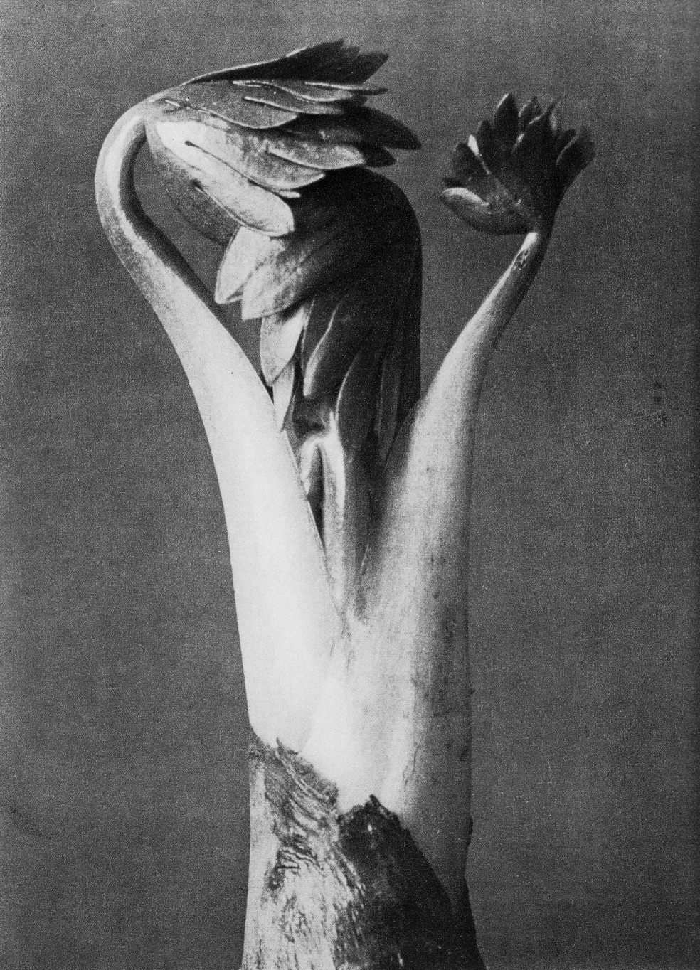 Karl BLossfeldt: Monkshood