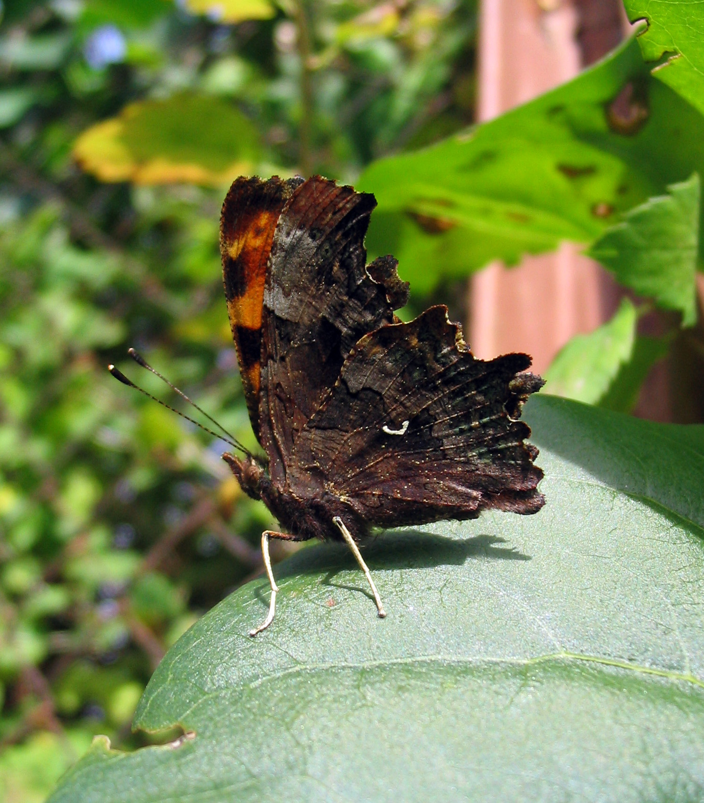 https://upload.wikimedia.org/wikipedia/commons/8/8f/C-Falter_Polygonia_C-album_Profil.jpg
