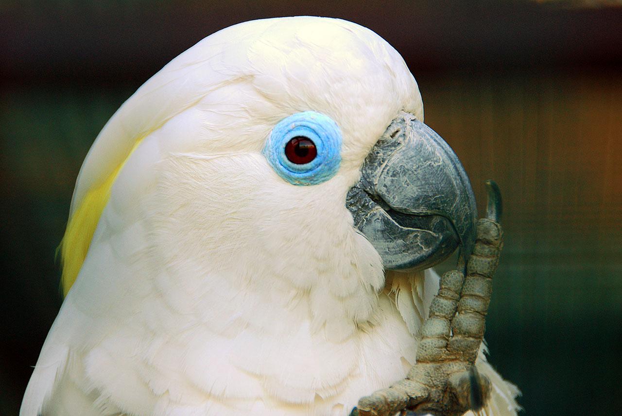 Что ОБЯЗАТЕЛЬНО нужно знать о Какаду Cacatua_ophthalmica_-Vogelpark_Walsrode_-upper_body-8a