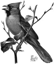 Cardinalis cardinalis (small illustration).jpg