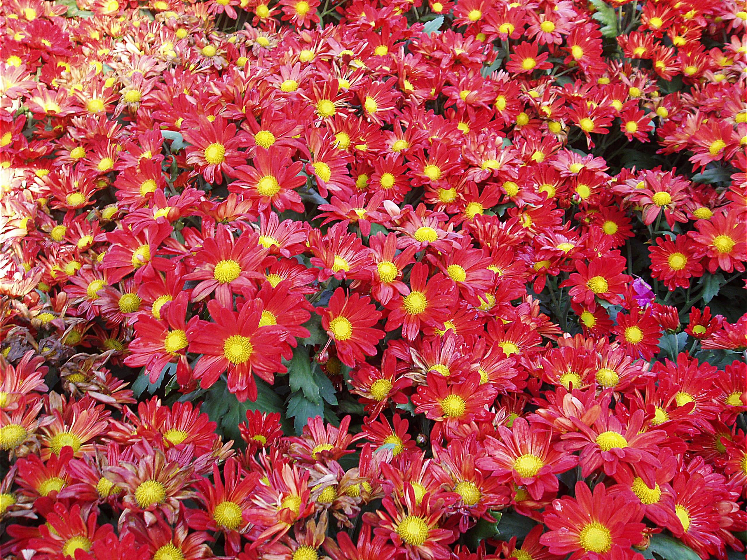 Садовые цветы на урале многолетники фото