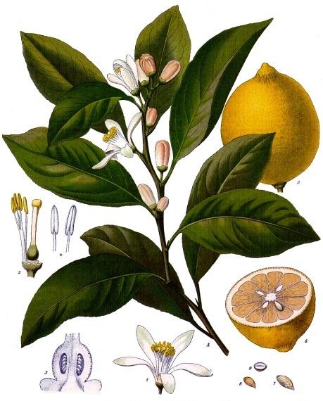planche botanique du citronnier