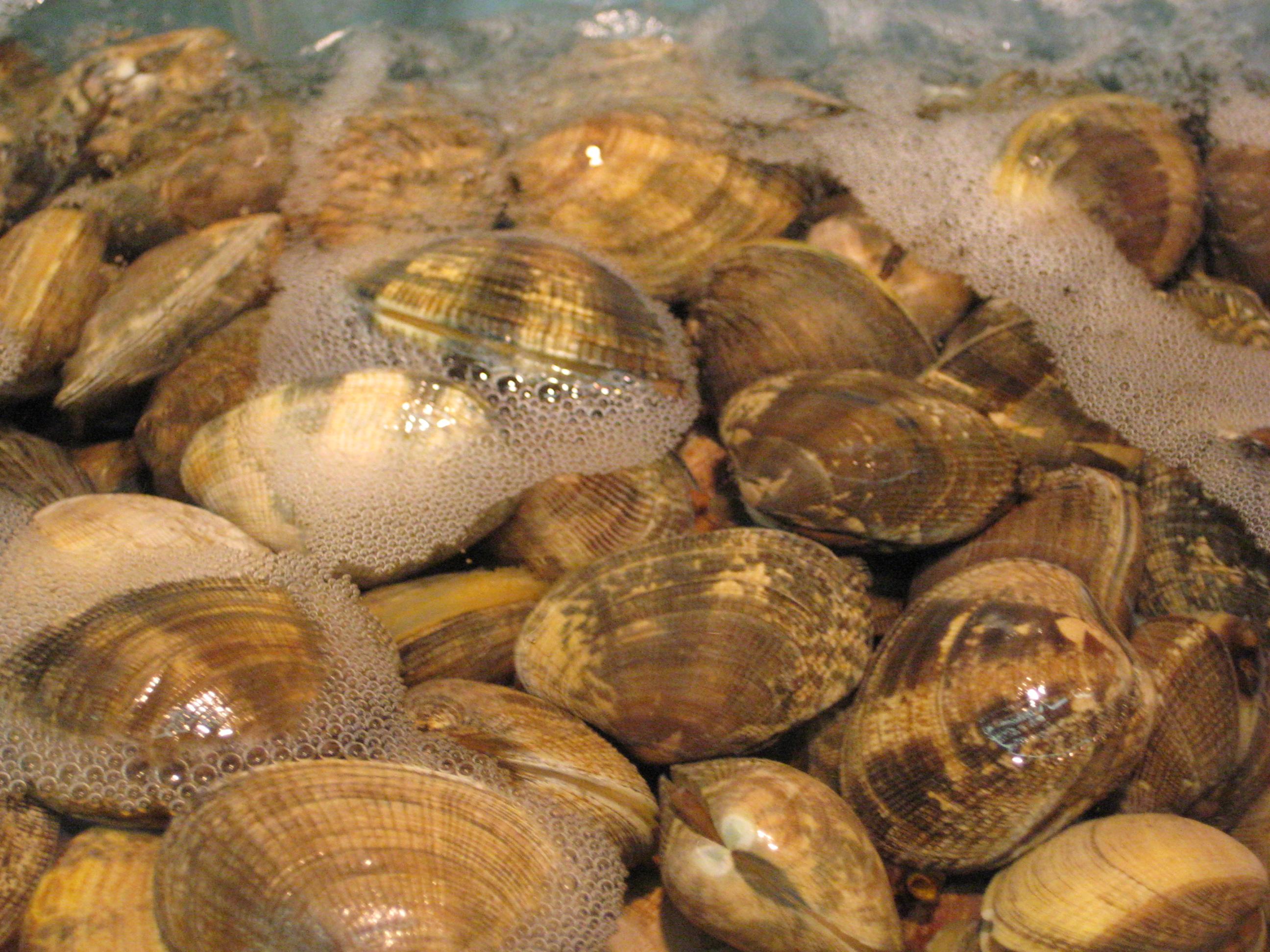 clam wikipedia