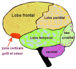Régions du cerveau