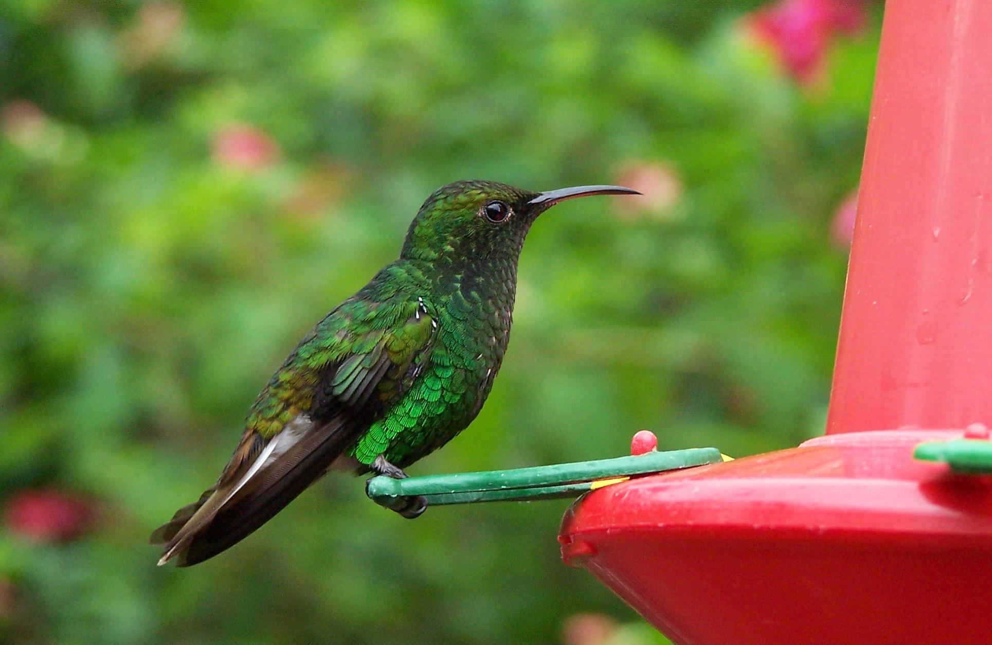 File:Costa-Rica-colibri-humming-bird.jpg - Wikipedia, the free ...