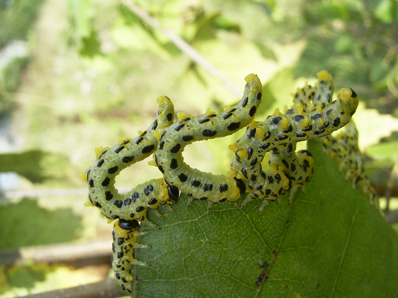 Larvae of Craesus septentrionalis, a sawfly showing 6 pairs of pro-legs.
