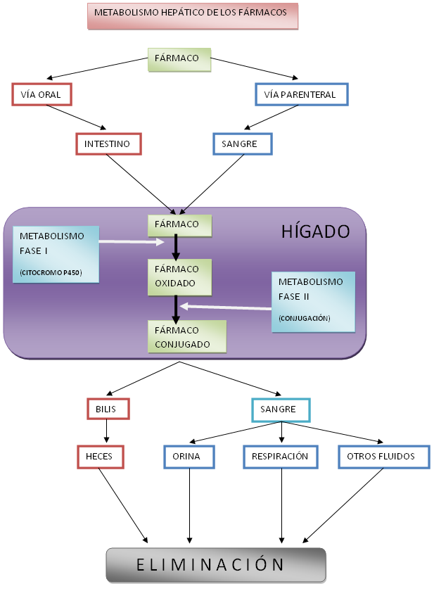 Increíble Diagrama De Hígado En El Cuerpo Humano Regalo - Imágenes ...