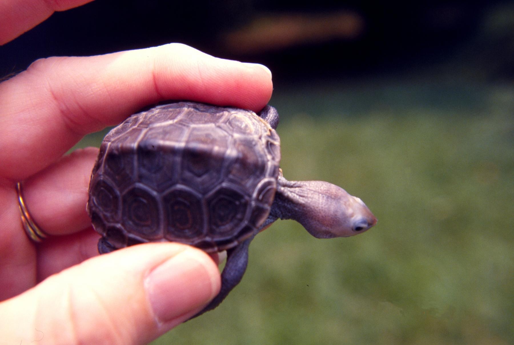 Baby Diamondback Turtles